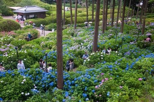 三室戸寺の紫陽花