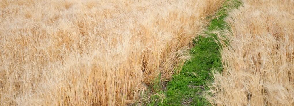 亀岡の麦畑