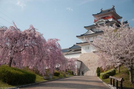 大阪青山歴史文学博物館の桜
