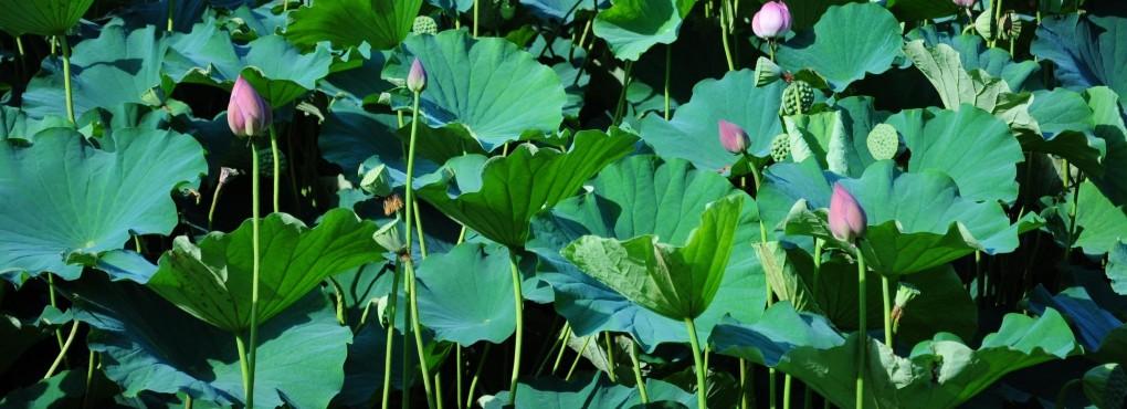 平の沢池の蓮