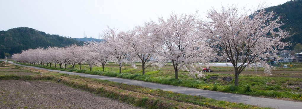 本梅の桜並木