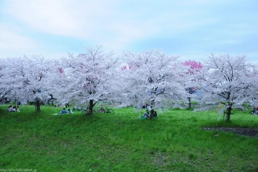 桂川桜並木