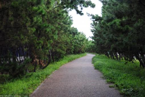 芦屋浜沿いの松林