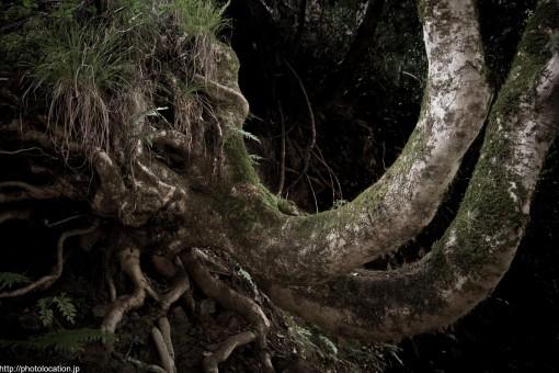 貴船の奇木