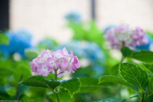 頼光寺の紫陽花