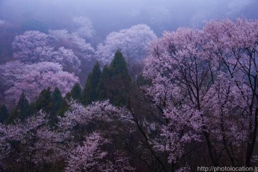 霧の能勢の桜
